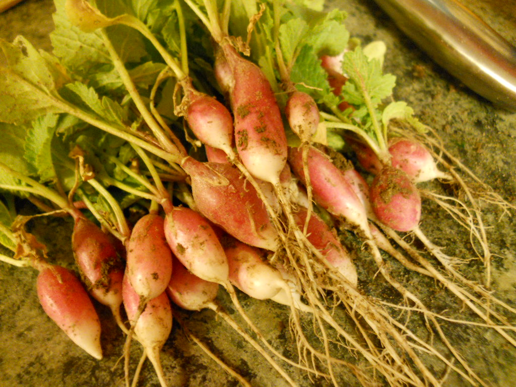 Baby french breakfast radishes just minutes old