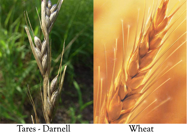 wheat and tares He'll gather the wheat to the grainery and burn the chaff with  and that thein  the church the wheat and the tares grow together and you've.