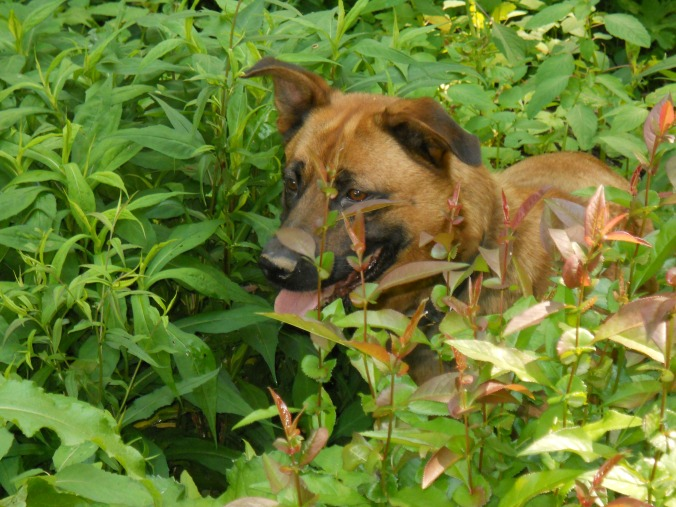Jack hiding in the weeds, he died last March, I love the colors in this photo :)