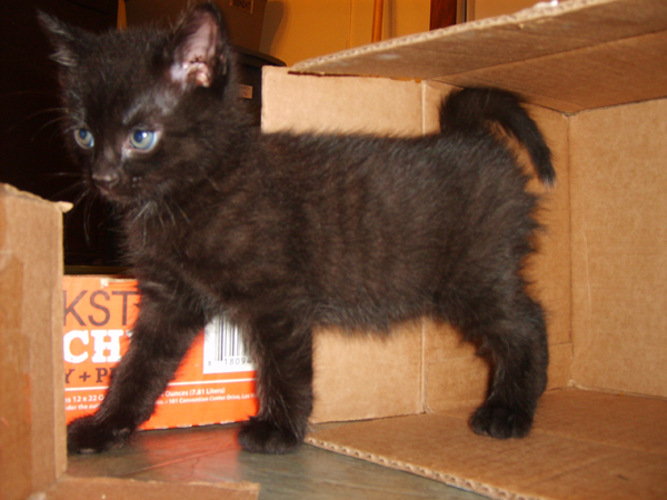 FooF as a kitten (he's the father of Gizmo's kittens)