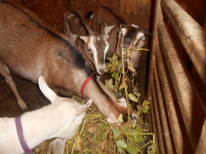 and then feed the vines to the goats (goats LOVE pea vines)...