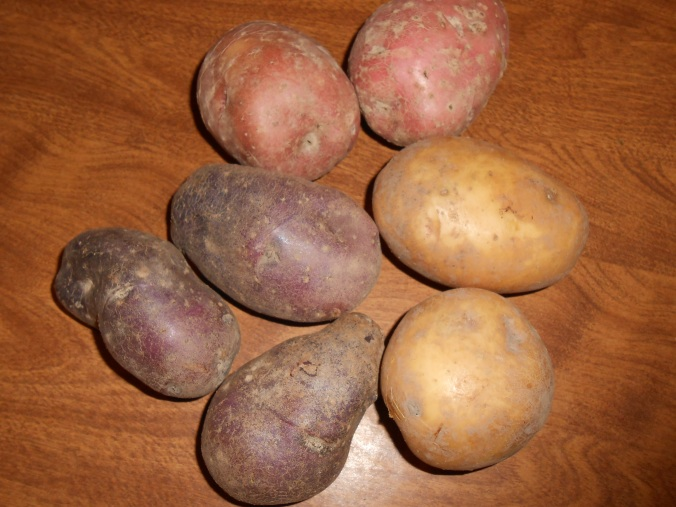 From this year's harvest: Red Pontiac, Adirondack Blue and Yukon Gold Potatoes