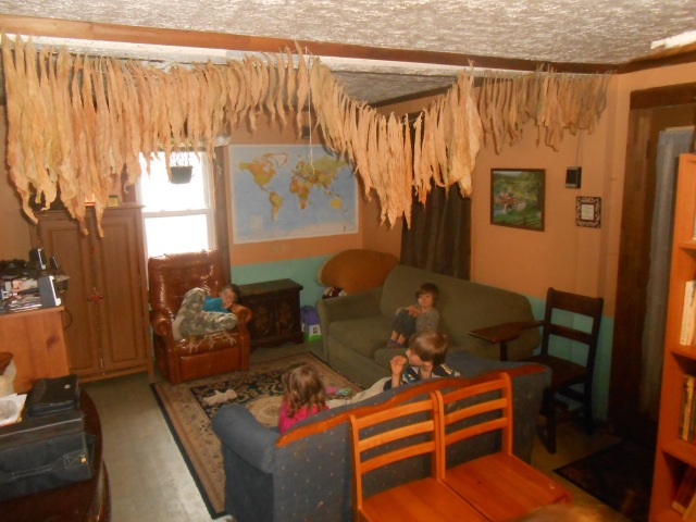 Tobacco leaves hanging to dry from the ceiling beam in the living room