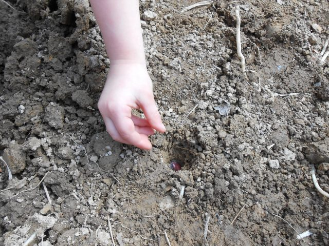the hand of my 3 year old daughter, planting a fava bean seed